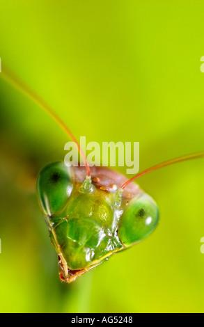 Closeup of Praying Mantis Head - Stock Photo