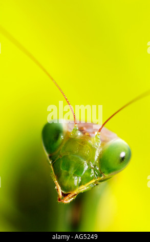 Closeup of Praying Mantis Head - Stock Photo