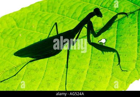 Praying Mantis on Leaf - Stock Photo