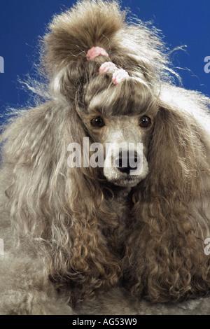standard poodle - portrait - Stock Photo