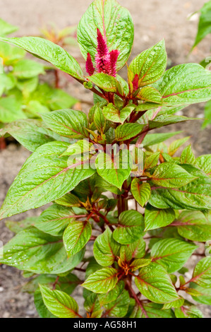 Red flowers of Common Cockscomb Amaranthaceae Celosia argentea var cristata Europe Asia - Stock Photo