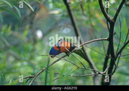 Red collared Lorikeet Trichoglossus rubritorquis perched on branch - Stock Photo