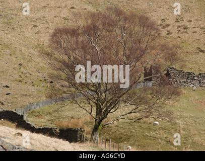 Silver birch Betula pendula beside a ruined stone building and a stone and slate wall by the Watkin Path that runs - Stock Photo