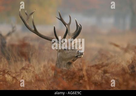Red Deer England UK Europe - Stock Photo