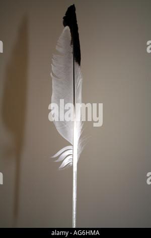 quill a fluent pen plume nature bird grace rather light lightly - Stock Photo