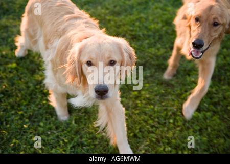 two golden retriever dogs running in park, happy in sun light - Stock Photo