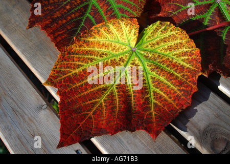 Autumn color. Vine leaf showing autumn season changes to glowing colors of red, orange, gold and yellow - Stock Photo