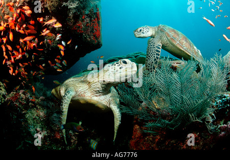 Two Green sea turtles Chelonia mydas Malaysia Borneo Sabah Sipadan - Stock Photo