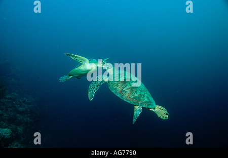 Two mating Green sea turtles Chelonia mydas Malaysia Borneo Sabah Sipadan - Stock Photo