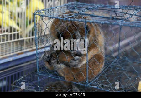 Vietnam Hanoi Slow loris for sale - Stock Photo