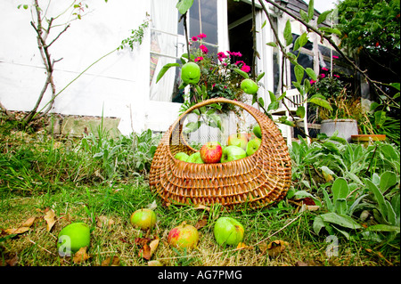 Basket of apples in an orchard in Sussex, England, UK - Stock Photo