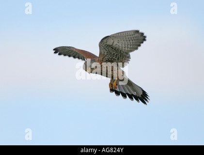 Turmfalke im Flug ruettelnd Common Kestrel Falco tinnunculus in flight hovering - Stock Photo