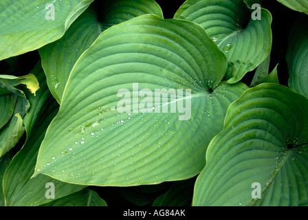 Rain drops on hosta leaf - Stock Photo