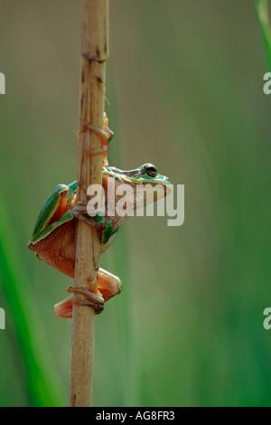 European Tree Frog, Neusiedler Lake, Austria / (Hyla arborea) - Stock Photo