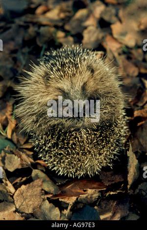 Hibernating hedgehog - Stock Photo