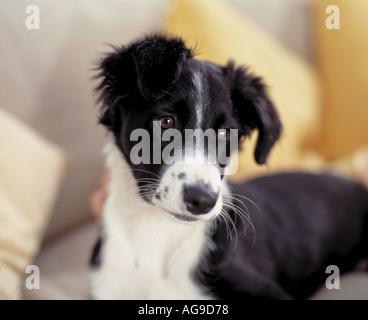 sheepdog collie puppy on sofa - Stock Photo