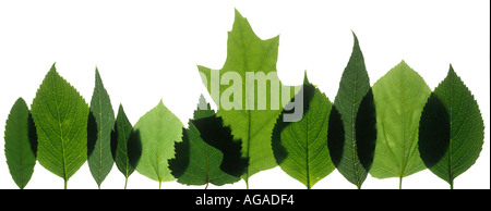 Row of  leaves lit from behind, white background - Stock Photo