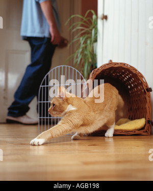 ginger tom escaping from basket - Stock Photo