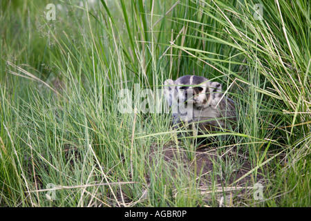 A Badger Yellowstone National Park Wyoming - Stock Photo