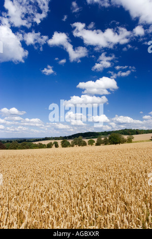 Wheat field, Surrey UK - Stock Photo
