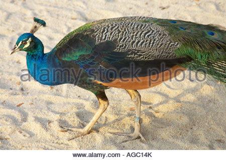 Sentosa Island, Peacock - Stock Photo