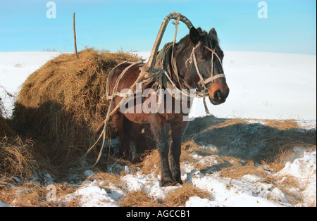 Draft horse with hay in sleigh Altai Russia - Stock Photo