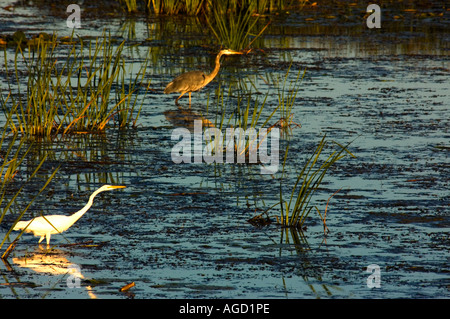 Great Egret and Green Heron hunt the marsh late on a summer afternoon at the North end of White Lake near Montague - Stock Photo