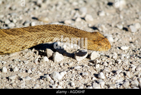 Cape Cobra. Naja nivea. Snake moving Kalahari Transfrontier Park South Africa RSA - Stock Photo