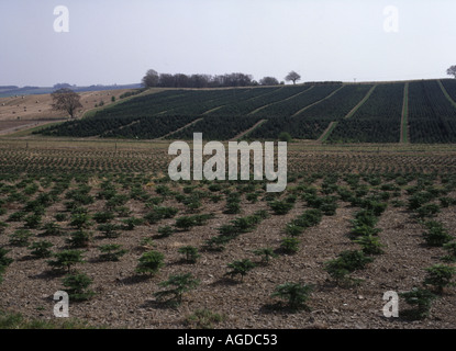 dh Nursery plantation fields FORESTRY UK Small young saplings lines of fir trees sapling pine tree forest rows conifer - Stock Photo