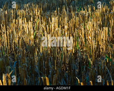 Close shot of the stalks left after the crop has been cut in Lancashire England UK - Stock Photo