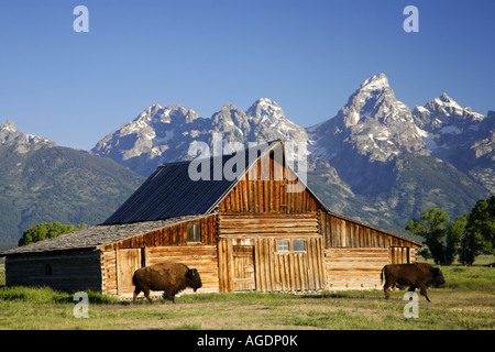 Bison and a barn on Mormon Row Grand Teton National Park Wyoming - Stock Photo