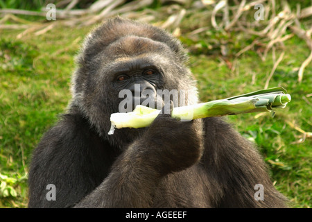 Romina a female Western lowland gorilla at Bristol Zoo Gardens who had successful surgery to restore her sight England - Stock Photo