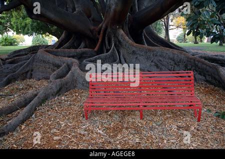 Red park bench beneath enormous Moreton Bay Fig tree Ficus macrophylla Kings Park Perth Western Australia - Stock Photo