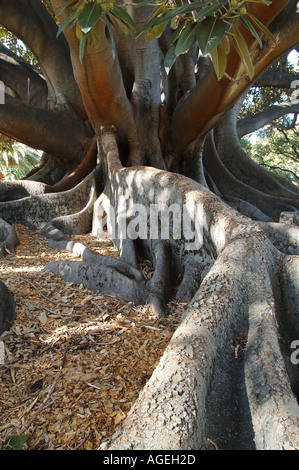 Huge buttress roots of an enormous Moreton Bay Fig tree Ficus macrophylla - Stock Photo