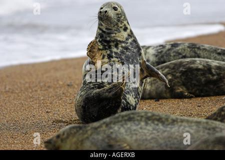 grey seal on beach near gt yarmouth uk - Stock Photo