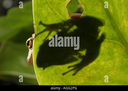 Treefrog of the Brazilian Atlantic forest Mata Atlantica - Stock Photo
