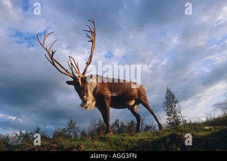 Low angle view of Caribou Bull Big Game Alaska Captive Southcentral Summer - Stock Photo