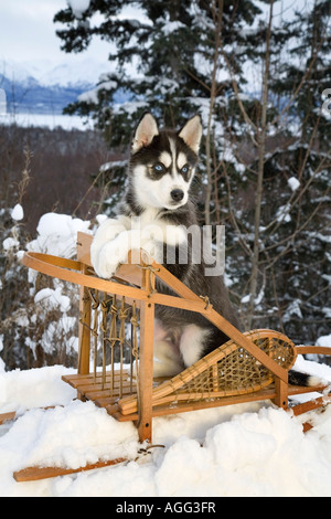 Siberian Husky puppy sits in dog sled in snow Alaska - Stock Photo