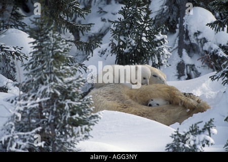 Polar Bear Mother Cubs Cuddling Together in Forest Churchill Canada Spring