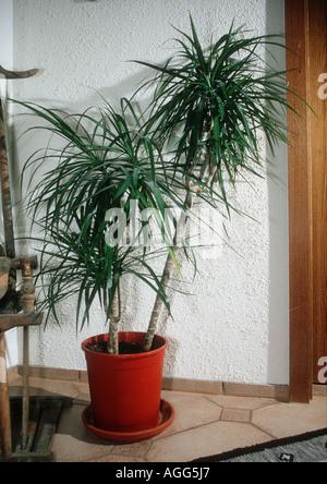 http://l450v.alamy.com/450v/agg5j7/dragon-tree-dracaena-marginata-plant-in-a-pot-agg5j7.jpg Dracaena
