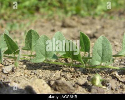 sharp-leaved fluellin, sharppoint fluellin, sharp-point toadflax (Kickxia elatine), creeping sprout - Stock Photo