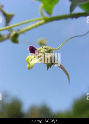 sharp-leaved fluellin, sharppoint fluvellin, sharp-point toadflax (Kickxia elatine), flower against blue sky - Stock Photo