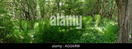 Panoramic Shot Of Marsh Horsetail, Smockmill Common, South Norfolk, UK - Stock Photo