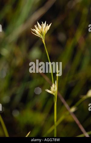 White Beak sedge, rhynchospora alba - Stock Photo