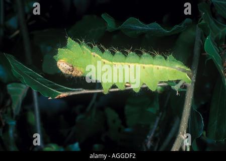 chinese oak silk moth caterpillar - Stock Photo