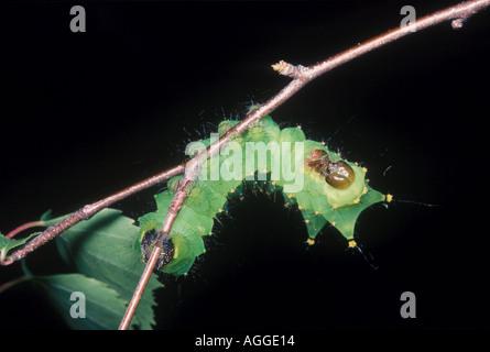 Chinese oak silk moth caterpillar Antheraea pernyi - Stock Photo
