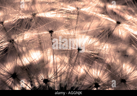 EXTREME CLOSE UP OF DANDELION FLOWER - Stock Photo