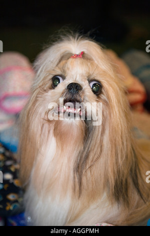 'Angry Dogs' Portrait of Angry Pekingese Dog Breed showing teeth_ Thailand pet with ribbon in hair. - Stock Photo