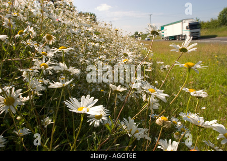 Oxeye daisies on bank beside a road - Stock Photo