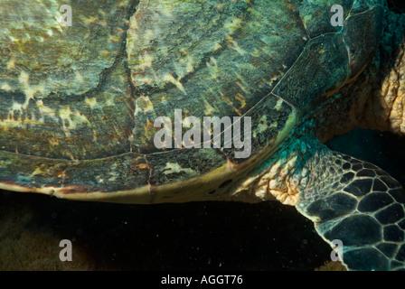 Maldives Ari Atoll Fish Head A Hawksbill Turtle Eretmochelys Imbricata Shell - Stock Photo